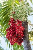 Um grupo das tâmaras na árvore Fotografia de Stock Royalty Free