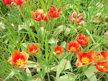 Um grupo das tulipas foto de stock