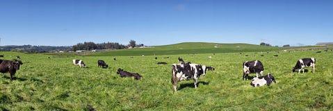 Um grupo das vacas preto e branco que pastam em alguma grama muito verde imagens de stock royalty free