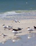 Andorinhas-do-mar reais na praia descalça imagens de stock royalty free