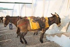 Um grupo de asnos em Santorini, Grécia fotos de stock royalty free
