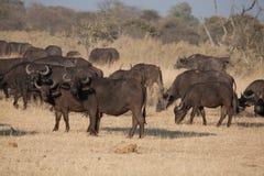 Um grupo de búfalos africanos Imagens de Stock Royalty Free
