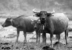 Um grupo de baffaloes Fotografia de Stock