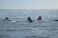 Grupo de baleias de humpback Imagens de Stock