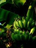 Um grupo de bananas cruas em um pomar em Tailândia do norte Imagem de Stock