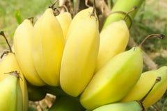Um grupo de bananas maduras e amarelas Fotos de Stock Royalty Free
