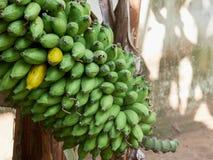 Um grupo de bananas verdes cruas com um par que amadurece Fotografia de Stock Royalty Free