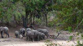 Um grupo de beber dos elefantes africanos filme