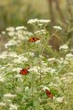 Um grupo de borboletas de monarca em uma planta branca fotografia de stock royalty free