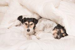 Um grupo de cães engraçados é de encontro e de sono em uma cama Cão pequeno dois Jack Russell Terrier imagens de stock royalty free
