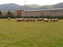 Um grupo de carneiros Fotografia de Stock
