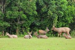 Um grupo de cervos do Sambar no parque nacional de Khao Yai, Foto de Stock Royalty Free