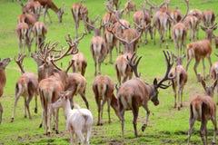 Um grupo de cervos em um prado imagens de stock