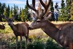 Um grupo de cervos que estão em um campo perto de Whitehorse, Yukon fotos de stock royalty free