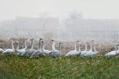 Um grupo de cisnes Fotos de Stock Royalty Free