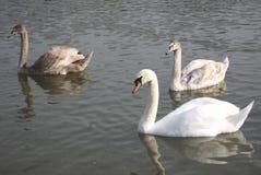 Um grupo de cisnes no lago Imagem de Stock Royalty Free