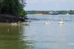 Um grupo de cisnes que nadam no rio de Dunav foto de stock