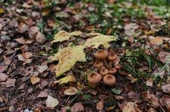 Um grupo de cogumelos sob a árvore de bordo pequena fotos de stock