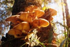 Um grupo de cogumelos vermelhos com chapéus placa-dados forma cresce em um coto Fotografia de Stock Royalty Free