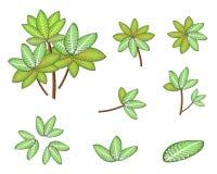 Um grupo de Dieffenbachia isométrico Picta Marianne Pl Imagens de Stock Royalty Free