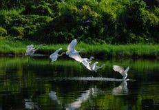Um grupo de egrets imagem de stock