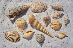 Um grupo de escudos do mar na areia Fotos de Stock Royalty Free