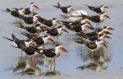 Um grupo de espumadeiras pretas (Rynchops niger) que descansam na água pouco profunda fotografia de stock royalty free