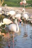 Um grupo de flamingos bonitos em uma lagoa Imagens de Stock Royalty Free