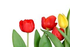 Um grupo de flor amarela vermelha da tulipa com folhas floresce no jardim botânico foto de stock royalty free