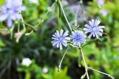 Um grupo de flor de três azuis Fotografia de Stock