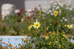 Um grupo de flores gerais amarelas aprecia o sol de setembro das montanhas do Touro no mediterrâneo turco foto de stock royalty free