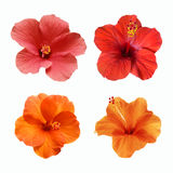 Um grupo de flores isoladas do hibiscuc Imagem de Stock Royalty Free