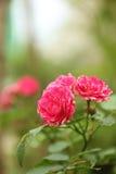 Um grupo de flores vermelhas com algumas folhas verdes Imagens de Stock Royalty Free