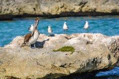 Um grupo de gaivotas e de um pelicano em uma rocha grande em uma lagoa do mar das caraíbas Imagem de Stock Royalty Free