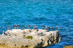 Um grupo de gaivotas em uma rocha grande em uma lagoa do mar das caraíbas Foto de Stock