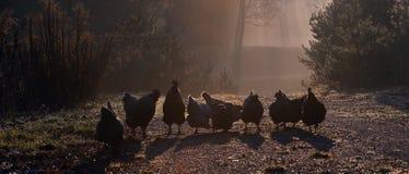 Um grupo de galinhas, um amanhecer no outono imagem de stock royalty free