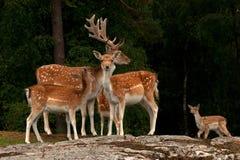 Um grupo de gamos, em uma floresta na Suécia fotografia de stock