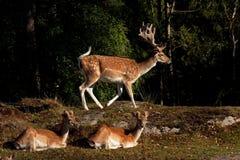 Um grupo de gamos, em uma floresta na Suécia imagem de stock royalty free