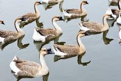 Um grupo de gansos imagens de stock royalty free
