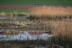 Um grupo de gansos oxidados fotografia de stock royalty free