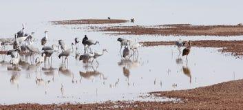 Um grupo de guindastes de Sandhill em uma lagoa Imagens de Stock