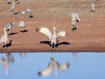 Um grupo de guindastes de Sandhill por uma lagoa Fotos de Stock