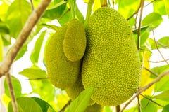 Um grupo de Jackfruits verdes Foto de Stock Royalty Free