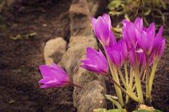 Um grupo de lírios roxos que crescem nas pedras Imagens de Stock