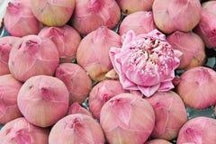 Um grupo de lótus cor-de-rosa Imagem de Stock