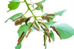 Um grupo de lagartas da traça na folha Fotos de Stock Royalty Free
