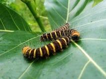 um grupo de lagartas que estão rastejando nas folhas imagens de stock