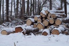 Um grupo de logs do pinho Árvores cortadas na floresta, opinião do fim foto de stock