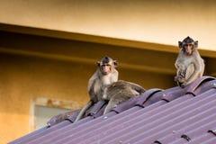 Um grupo de macaco Foto de Stock Royalty Free