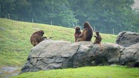 Um grupo de macacos, rei do macaco fotos de stock royalty free